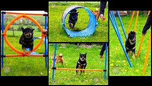 Agility-shiba-inu-sport-canin-CKK-education-exercice-entrainement