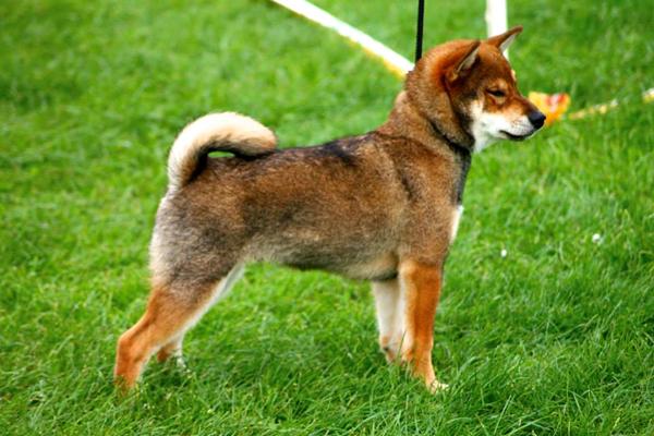 handling-puppy-shiba-inu-dogshow