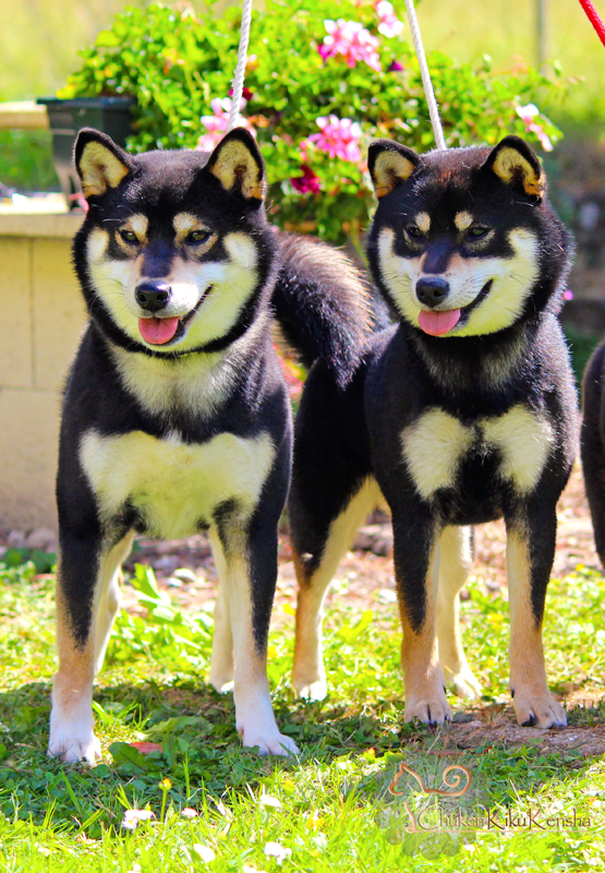Kuro-Jyujyu-father-daughter-shiba-inu-black-tan-CKK