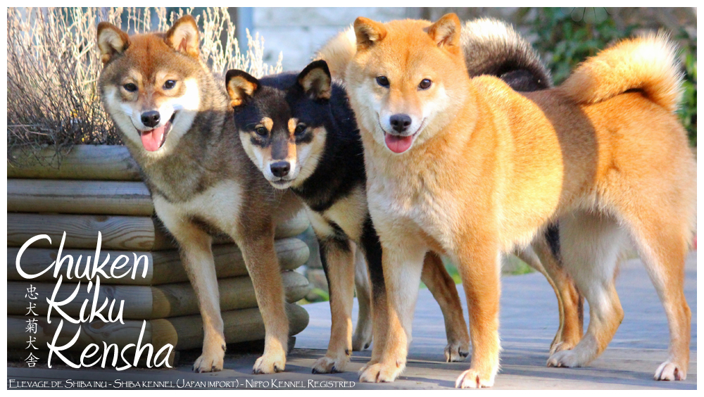 http://www.chuken-kiku-kensha.com/Source/CKK-Elevage-Shiba-inu-kennel-Japan-Import-Japon-chien-japonais-Race-japonaise-Japanese-dog-Breed-chiot-nippo-registred-Chuken-Kiku-Kensha-sesame-goma-bloodline-puppy-black-tan-France-IDF-Eure-Paris.jpg