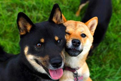 Shiba-inu-chien-japonais-Race-japonaise-Japanese-dog-柴犬