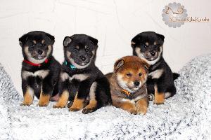 Shiba-inu-chiot-chuken-kiku-kensha-elevage-puppies-litter