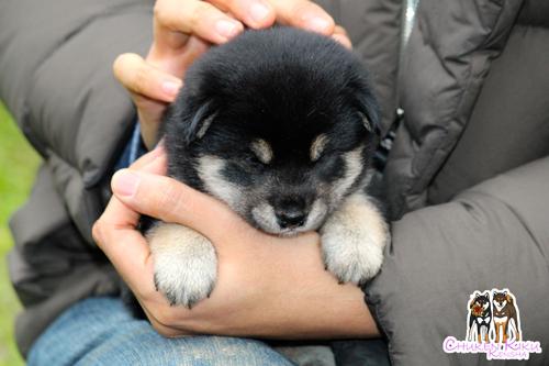 puppy-shiba-inu-ckk-Asca