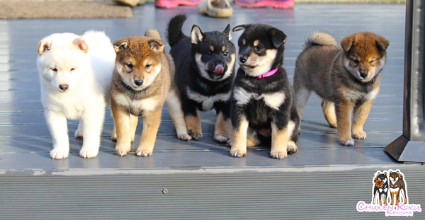 Chiots-puppies-litter-shiba-inu-elevage-CKK