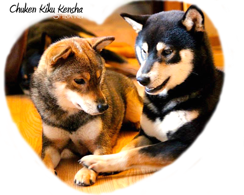 Chuken-Kiku-Kensha-Shiba-inu-kennel-CKK-elevage-familial-prevision-saillie-future-portee-prevue-breeding-plan-program-black-tan-sesame