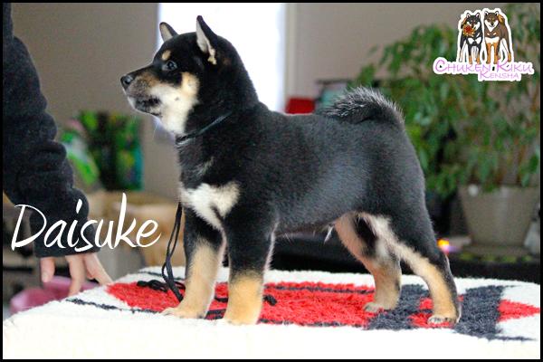Daisuke-shiba-inu-elevage-CKK-black-tan-male