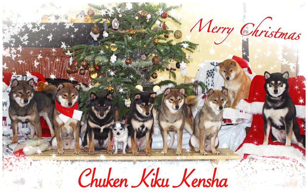Elevage-Shiba-inu-Chuken-Kiku-Kensha-CKK-meute-pack-Joyeux-Noel-Merry-Christmas-2016-france-kennel-sesame-goma-black-tan-red