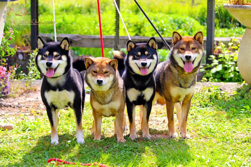 Kuro-Ume-Jyujyu-Jin-family-shiba-inu-sire-dam-fils-fille-CKK-elevage