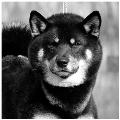 GORO-Puchi-Wolfy-Of-Inivruk-shiba-inu-elevage-CKK-noir-feu