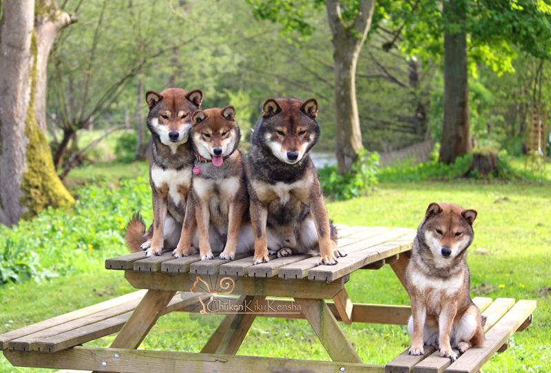 Goma-shiba-inu-sesame-elevage-CKK-Chuken-Kiku-Kensha-couleur-shikoku-loup-japan-bloodline-pedigree-awat-lignee-Ryujiro-Shueisou-Tenjumaru