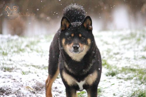 Goro-puchi-wolfy-male-noir-et-feu-elevage-shiba-inu-CKK-snow-neige