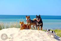Groupe-Shiba-inu-CKK-elevage-Chuken-kiku-kensha-plage-mer-vacances-chien