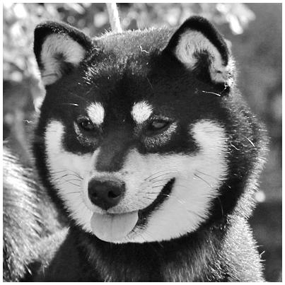 Jyujyu-noir-black-kuro-shiba-inu-femelle
