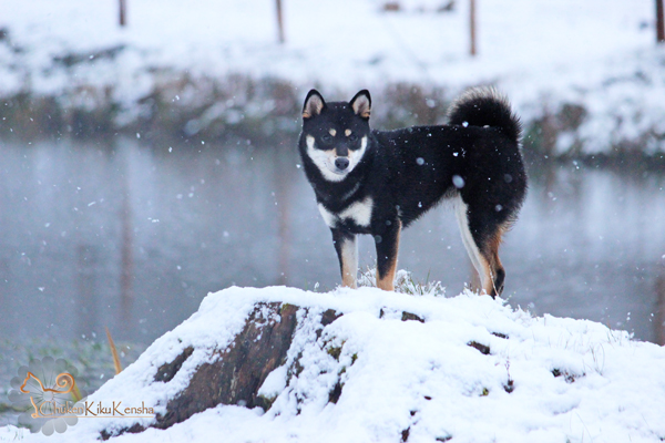 Jyujyu-nippo-litter-shiba-kennel-snow-CKK