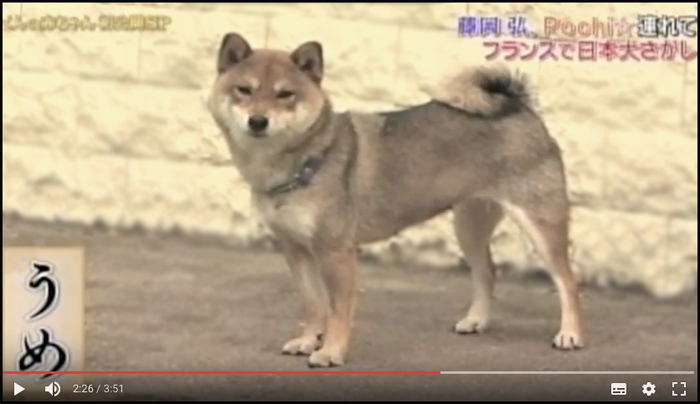 Japanese-TV-Japonaise-elevage-shiba-inu-Japan-Dogs-CKK-chuken-kiku-kensha-kennel-tournage-video-emission-shibaland-environnement-shibaddict-shibaholic-france-sesame-goma