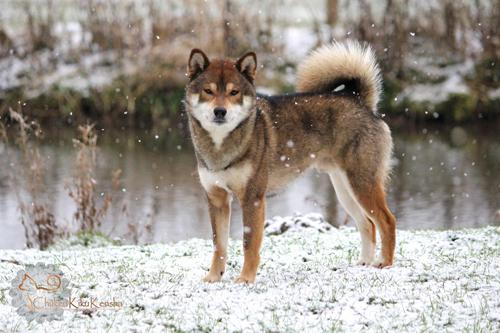 Jinjyu-go-chuken-kiku-kensha-Jin-shiba-inu-elevage-CKK-sesame-male-goma-gris-loup-lignee-japonaise-snow-neige-2016