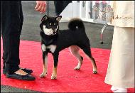 Jyujyu-go-chuken-kiku-kensha-meilleur-puppy-shiba-inu-best