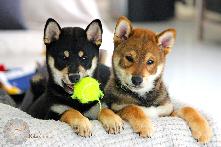 Puppy-chiot-shiba-inu-LOF-Chuken-kiku-kensha-CKK-elevage-kennel