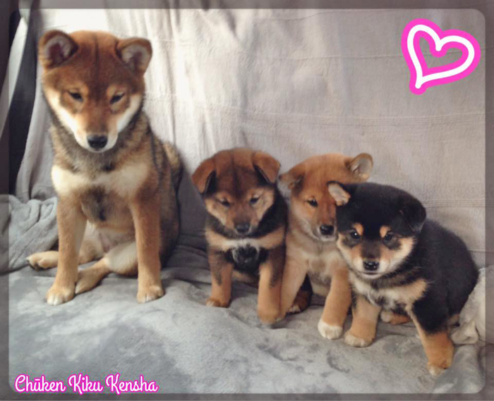 Kiko-export-USA-sesame-shiba-inu-chiots-Kayo-Jin-puppies-CKK-elevage-femelles-females-sociablisation