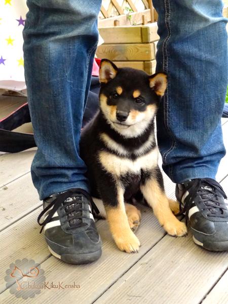 Kinu-Go-Chuken-Kiku-Kensha-Chiot-puppy-femelle-female-black-tan-shiba-inu-elevage-CKK
