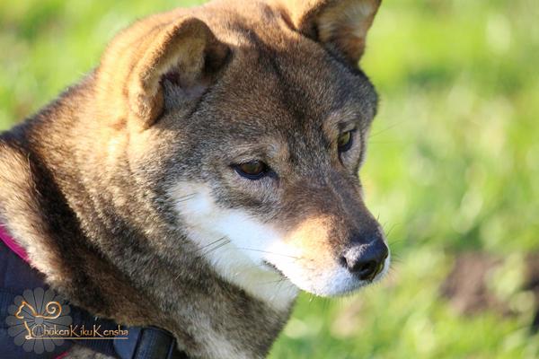 Kogiku-Yumi-Go-Chuken-Kiku-Kensha-female-sesame-goma-shiba-inu-production-breeding-CKK-elevage-kennel