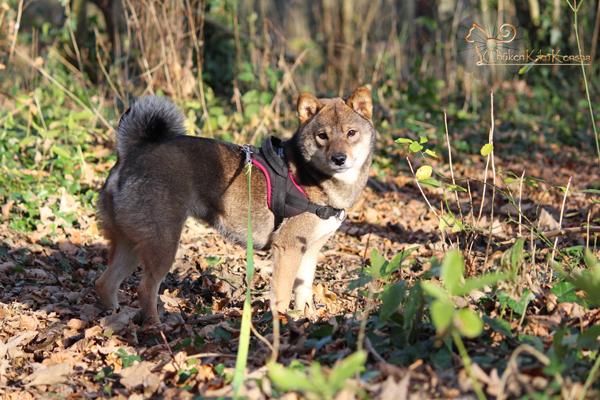Kogiku-Yumi-Go-Chuken-Kiku-Kensha-femelle-sesame-goma-shiba-inu-production-breeding-CKK-elevage-copropriete