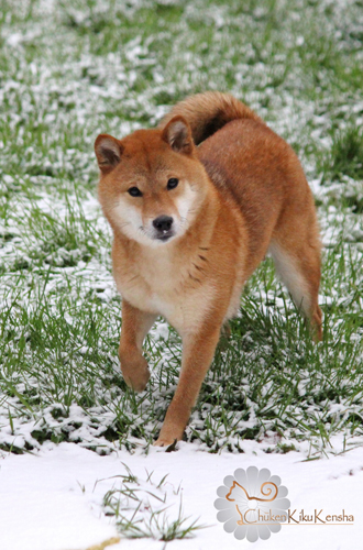 Koshiwano-Kayo-japan-import-japon-shiba-inu-elevage-CKK-female-femelle-snow-neige-2016.jpg