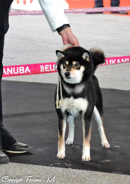 Kuro-shouryuu-japan-import-dogshow-male-black-tan-CKK