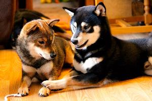 Shiba-inu-congenere-entente-bagarre-conflit-code-canin