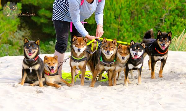 Shiba-inu-groupe-chien-elevage-CKK-meute
