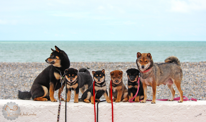 Photo-famille-shiba-inu-portee-litter-Goro-Ume-puppies-chiots-CKK-elevage-2015