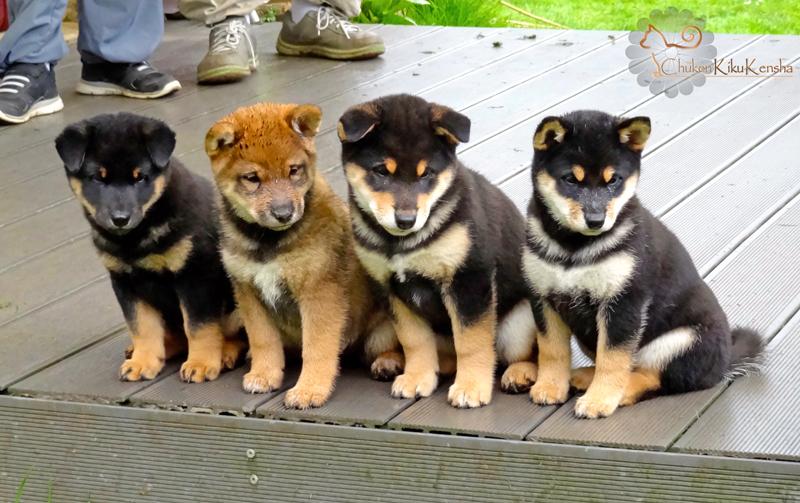 Puppies-Litter-2015-Goro-Ume-Shiba-inu-CKK-elevage-Chuken-Kiku-Kensha-2015