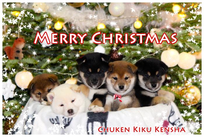 puppy-puppies-chiots-shiba-inu-noel-christmas-2015-CKK