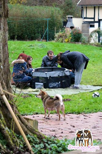 visite-rencontre-chiots-puppies-elevage-shiba-inu-CKK