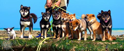 Shiba-inu-CKK-elevage-meute-balade-promenade-mer-plage-japanese-dog-shiba-kennel-japan-import-japon