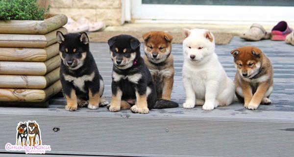 shiba-inu-puppies-pack-chuken-kiku-kensha-CKK-elevage