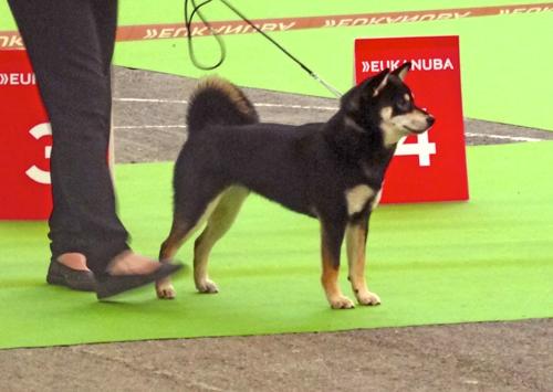 Shiba-inu-meilleur-jeune-championnat-france-2015