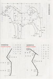 Shiba-inu-standard-nippo-nihon-ken-hozonkai-japon