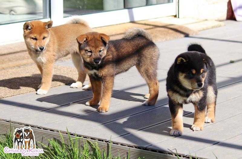 3-colors-couleurs-shiba-inu-chiots-puppies-goma-sesame-CKK