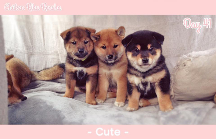 Shiba-inu-chiots-puppies-3-colors-trois-couleurs-girls-femelles-females-sesame-goma-aka-red-kuro-black-tan-dam-Kayo-sire-Jinjyu-Chuken-Kiku-Kensha-elevage-kennel