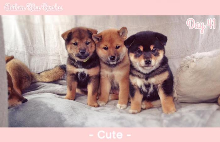 Shiba-inu-chiots-puppies-3-colors-trois-couleurs-girls-femelles-females-sesame-goma-aka-red-kuro-black-tan-dam-Kayo-sire-Jinjyu-Chuken-Kiku-Kensha-elevage-kennel