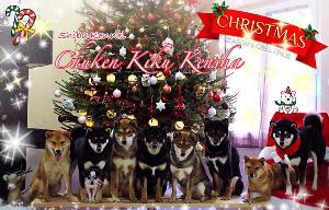 Shiba-inu-christmas-noel-2014-Chuken-kiku-kensha-elevage-CKK-kennel-meute