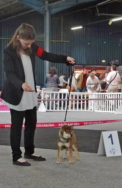 Shiba-inu-elevage-CKK-femelle-sesame-goma-nationale-elevage-2016-production-puppy-Kiko-dogshow