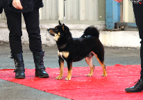 exposition-canine-shiba-inu-presentation-statique