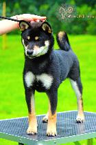 dogshow-entrainement-puppy-shiba-inu-CKK