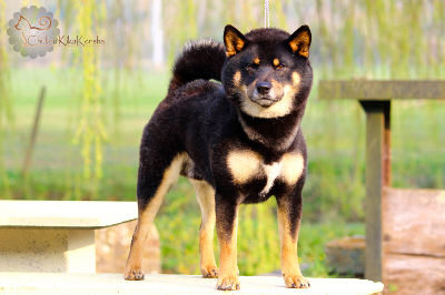 Exposition-canine-presentation-shiba-inu-dogshow