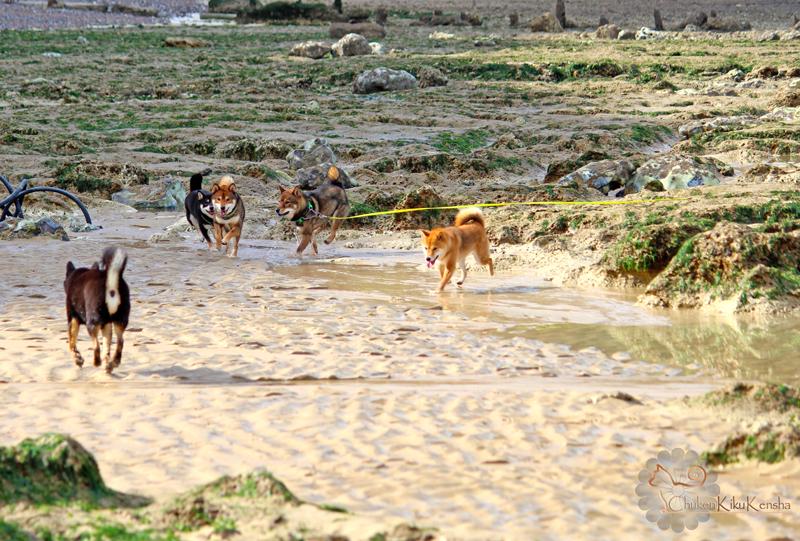 Elevage-shiba-inu-CKK-pack-dog-eleveur-race-japonaise
