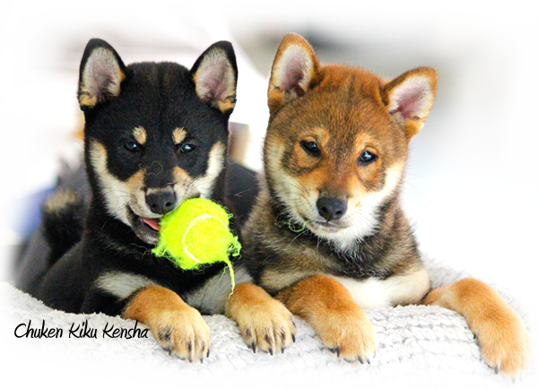 Shiba-inu-puppy-puppies-chiots-litter-portee