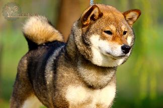 Shiba-inu-sesame-goma-dogshow
