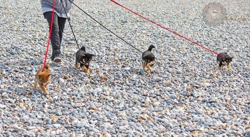 Socialisation-chiots-puppies-shiba-inu-mer-plage-ville-chiens-CKK-elevage